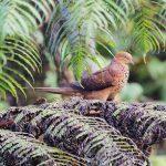 suara burung uncal