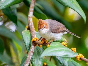 suara burung yuhina