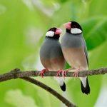 suara burung gelatik jawa