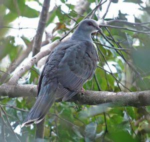 suara burung merpati murung
