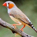 suara burung pipit jepang