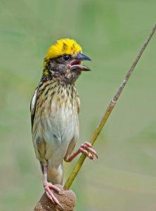 suara burung pipit kepala kuning