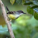 suara burung prenjak jawa