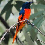 suara burung sepah hutan