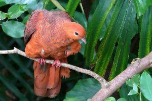 suara burung uncal buau