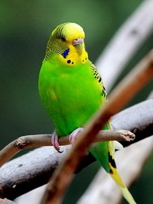 suara burung baji