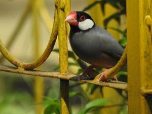 suara burung gelatik belong