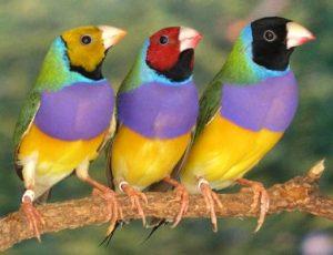 suara burung gold amadin