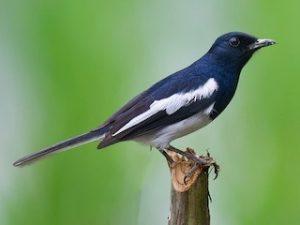suara burung kacer hitam