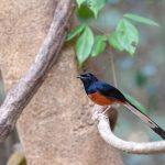 suara burung murai medan
