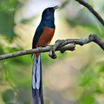 suara burung ohara
