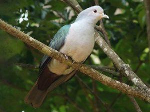 suara burung pergam