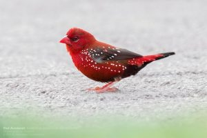suara burung pipit merah