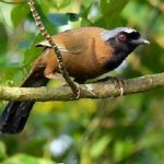 suara burung poksay mandarin