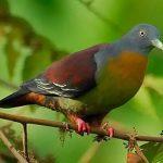 suara burung punai daun