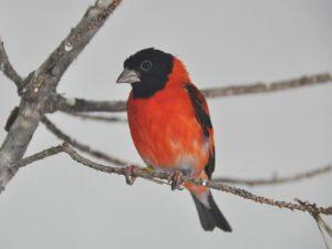 suara burung red siskin
